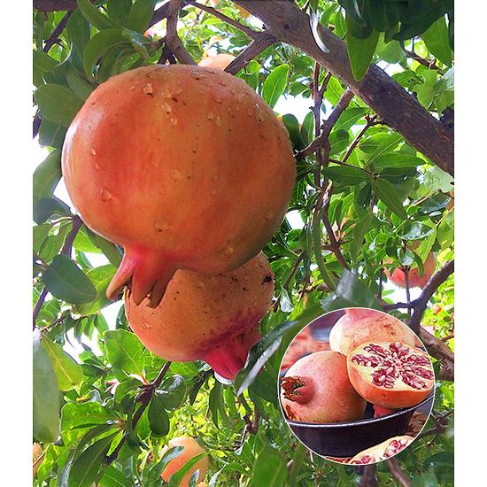 Garten-Welt Granatapfel 1 Pflanze rot