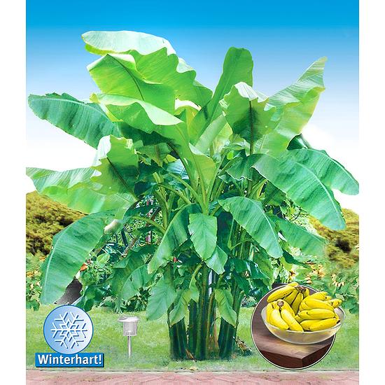 Garten-Welt Winterharte Banane 1 Pflanze grün