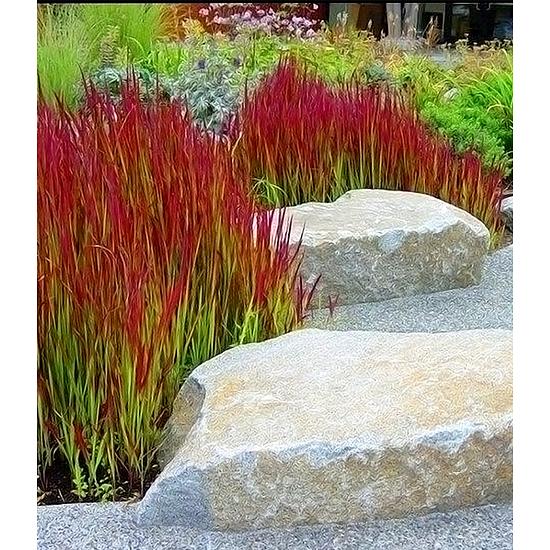 """Garten-Welt Ziergras """"Red Baron"""", 3 Pflanzen rot"""