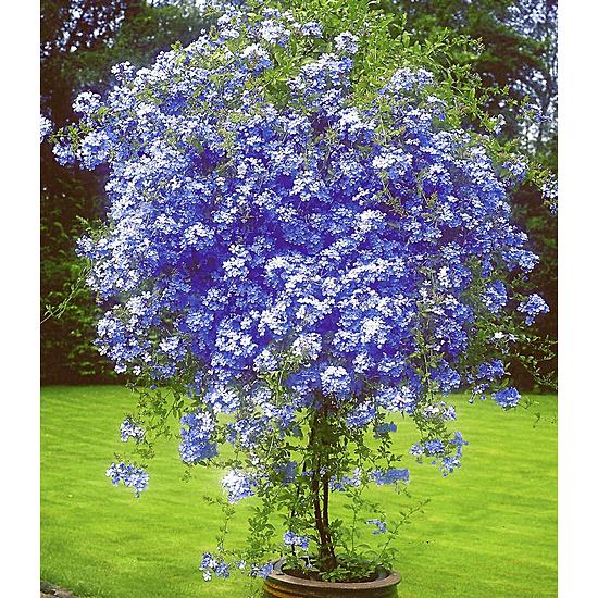 """Baldur-Garten Zierstrauch """"Plumbago"""", 2 Pflanzen blau"""