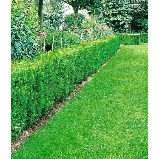 Garten-Welt Eiben-Hecke , 1 Pflanze grün