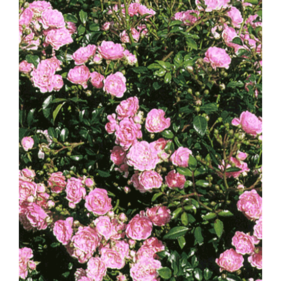 "Garten-Welt Rose ""The Fairy"" , 1 Pflanze rosa"