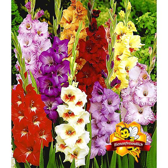 Garten-Welt Gladiolen-Mischung , 50 Zwiebeln mehrfarbig