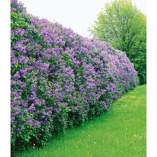 Garten-Welt Flieder-Hecke , 1 Pflanze lila