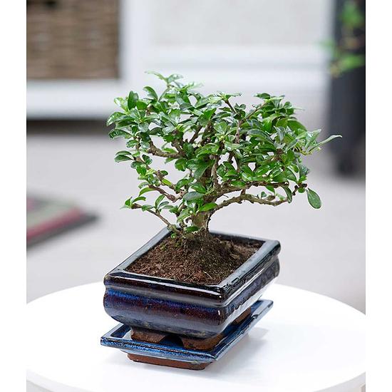 "Garten-Welt Bonsai Carmona ""Fukientee"" mit Schale, 1 Pflanze grün"