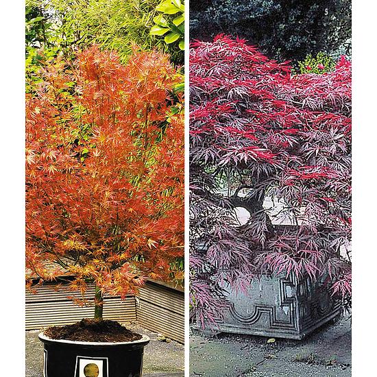 Garten-Welt Japanische Ahorn-Kollektion 2 Pflanzen mehrfarbig