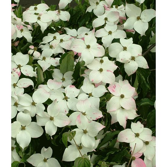Garten-Welt Japanischer Blüten-Hartriegel , 1 Pflanze weiß