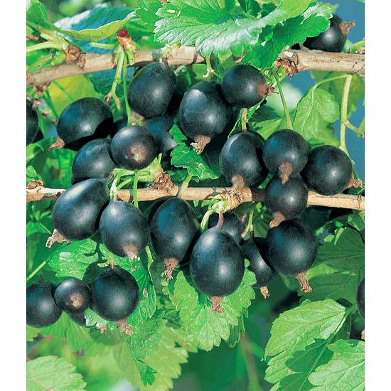 Garten-Welt Jostabeere , 1 Pflanze schwarz