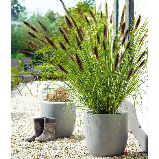 Garten-Welt Schwarzes Lampenputzergras , 1 Pflanze schwarz