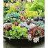 Garten-Welt Winterharte Sedum-Mischung 6 Pflanzen mehrfarbig (1)