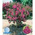 Garten-Welt Flieder des Südens 1 Pflanze pink (1)