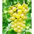 """Garten-Welt Kernlose Tafel-Traube """"New York®"""", 1 Pflanze gelb (1)"""