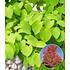 Garten-Welt Lebkuchenbaum , 1 Pflanze rot (1)