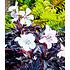 """Garten-Welt Geranium """"Purple Ghost"""" , 1 Knolle weiß (1)"""