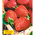 "Garten-Welt Immertragende Erdbeere ""Seascape®"", 6 Pflanzen rot (1)"