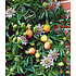 Garten-Welt Maracuja-Pflanze , 1 Pflanze mehrfarbig (1)
