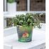 """Garten-Welt Callisia """"Turtle"""" , 1 Pflanze grün (1)"""