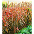 Garten-Welt Miscanthus-Hecke , 1 Pflanze rot (1)