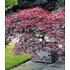 """Garten-Welt Japanischer Ahorn """"Burgund"""", 1 Pflanze rot (1)"""