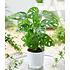 "Garten-Welt Monstera ""Monkey Leaf"", 1 Pflanze grün (1)"