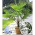 Garten-Welt Winterharte Kübel-Palme 1 Pflanze grün (1)