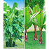 Garten-Welt Winterharte-Bananen-Kollektion 2 Pflanzen grün (1)