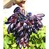 """Garten-Welt Tafeltraube """"Souvenir®"""" dattelförmig, 1 Pflanze rot (1)"""