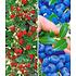 Garten-Welt Beeren-Kollektion , 4 Pflanzen mehrfarbig (1)