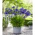 """Garten-Welt Agapanthus """"Blue"""" , 3 Knollen blau (1)"""