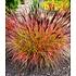 "Garten-Welt Chinaschilf ""Red Chief"" , 1 Pflanze rot (1)"