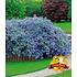 """Garten-Welt Ceanothus """"Blue Fashion"""", 3 Pflanzen blau (1)"""