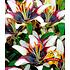 """Garten-Welt Lilie """"Netty´s Pride"""" , 3 Knollen mehrfarbig (1)"""