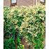 Garten-Welt Knöterich 1 Pflanze gelb (1)