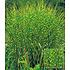 Garten-Welt Zebra-Gras , 1 Pflanze mehrfarbig (1)
