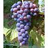 """Garten-Welt Kernlose Tafel-Traube """"Venus®"""", 1 Pflanze blau (1)"""
