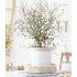"Garten-Welt Maori® Sophora Cotoneaster ""Little Baby"", 1 Pflanze gelb (1)"