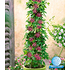 "Garten-Welt Winterharte Passionsblume ""Ladybirds Dream"", 1 Pflanze pink (1)"