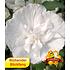 """Garten-Welt Gefüllter Hibiskus """"Chiffon®"""" , 1 Pflanze weiß"""