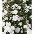 """Garten-Welt Rose """"Sea Foam"""", 1 Pflanze weiß (1)"""