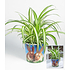 "Garten-Welt Chlorophytum ""Hase"" , 1 Set grün (1)"