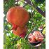 Garten-Welt Granatapfel 1 Pflanze rot (1)