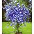 """Garten-Welt Zierstrauch """"Plumbago"""", 2 Pflanzen blau (1)"""