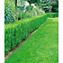 Garten-Welt Eiben-Hecke , 1 Pflanze grün (1)