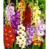 Garten-Welt Gladiolen-Mischung , 50 Zwiebeln mehrfarbig (1)