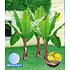 Garten-Welt Winterharte Banane 1 Pflanze rot (1)