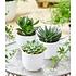 Garten-Welt Sukkulenten 3er-Mix 3 Pflanzen grün (1)