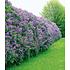 Garten-Welt Flieder-Hecke , 1 Pflanze lila (1)