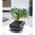 "Garten-Welt Bonsai Carmona ""Fukientee"" mit Schale, 1 Pflanze grün (1)"