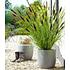 Garten-Welt Schwarzes Lampenputzergras , 1 Pflanze schwarz (1)