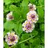 """Garten-Welt Lippia """"Summer Pearls®"""" rosa, 4 Pflanzen rosa (6)"""